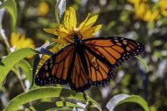 Monarch butterfly Iowa nature