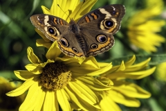 buckeye butterfly Iowa nature
