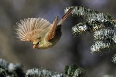 cardinal bird birds Iowa winter nature wildlife