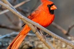 cardinal Iowa birds
