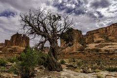 dying Utah Juniper Tree