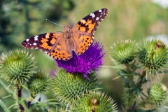 painted lady thistle Iowa butterfly