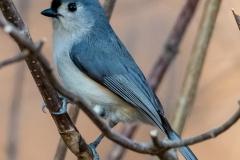 titmouse Iowa birds