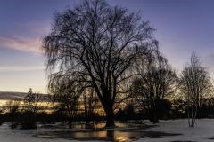 arboretum willow tree sunset
