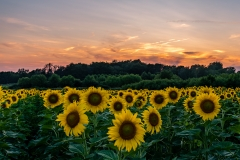 sunflower sunset Iowa