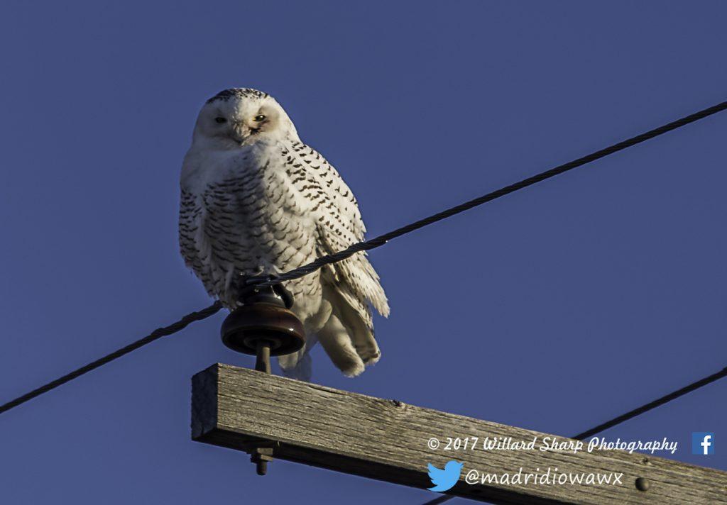 snowy-white-owl-7075-1024x712.jpg