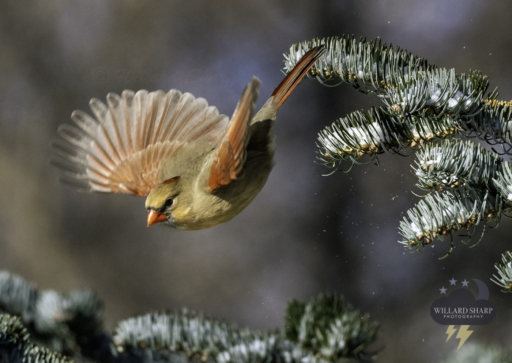cardinal bird taking flight iowa winter pine tree